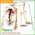 Педагогические модели пластической анатомии человеческого скелета с моделью нервы