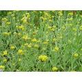 100% naturel Herba Gnaphaii Affinis extrait 10: 1