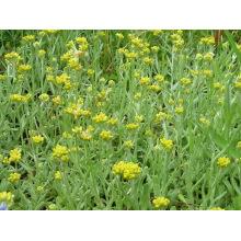 100% natürliches Herba Gnaphaii Affinis Extrakt 10: 1