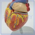 PNT-0405 human heart models