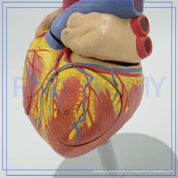 PNT-0405 modelos de corazón humano