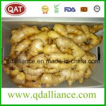 Gingembre séché au nouveau récolte organique avec Eco Cert