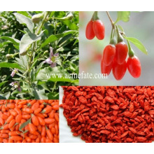 Organic goji berries dried goji berry
