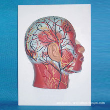 Human Head Shallow Muscle Nerve Medical Anatomic Model (R050124)