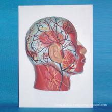 Modelo humano anatômico médico de nervo muscular de cabeça humana (R050124)