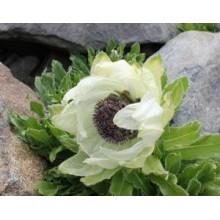 Polvo 100% natural de la hierba de Lotus de la nieve
