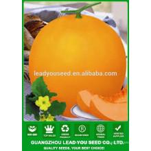 NSM22 Laoyin Chinse usine de graines de melon sucré, graines pour la plantation