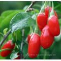 Fruta nativa Bayas de Goji de frutas