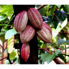 Премиум Качество натуральный какао порошок /какао порошок/какао-бобы