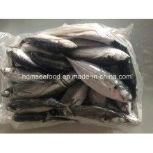Big Size Hardtail Scad pescado para la venta