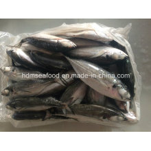 Big Size Hardtail Scad Fish for Sale