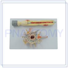 PNT-0640 Niedriger Preis Vergrößertes Neuron-Modell für den medizinischen Unterricht hergestellt in China