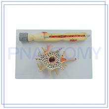 PNT-0640 Top Quality anatomical neurons model made in China