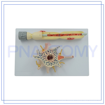 PNT-0640 Hot sale 2500 times enlarged Neuron model