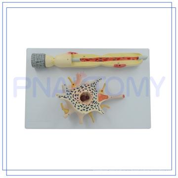 ПНТ-0640 горячая распродажа 2500 раз увеличенные модели нейрона