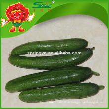 Beste grüne Gurke Hohe Qualität Frische Art Organica Pflanzung