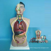 High Quality Medical Teaching Human Anatomy Torso (R030102)