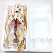 SKELETON07 (12367) Medical Science 85cm Skeleton with Nerves Blood Vessels for School Education