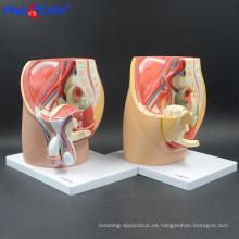 PNT-0570 tamaño de vida Modelo de pelvis masculina, modelo de cavidad pélvica de lujo (4 partes)