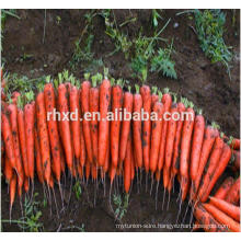 2017 new crop fresh carrot of M specification
