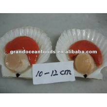 frozen scallops(half shell),IQF