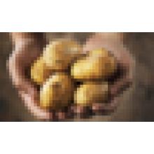 Importateurs de pommes de terre fraîches à dubai