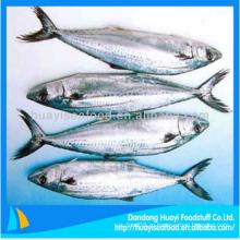 Высококачественная замороженная испанская скумбрия в рыбных свежих морепродуктах с лучшим экспортером