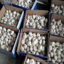 Proveedor de ajo en China (ajo blanco normal y ajo blanco puro)