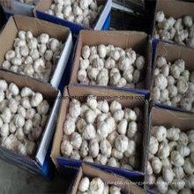 Поставщик чеснока в Китае (обычный белый чеснок и чистый белый чеснок)