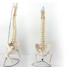 SPINE11 (12383) Medical Anatomy Science Columna vertebral profesional de tamaño natural con cabeza de pelvis y fémur