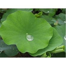 Lotus Leaf P.E With Active Ingredient NUCIFERINE