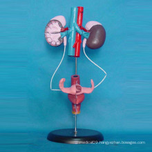 Female Urinary System Medical Anatomy Teaching Model (R110304)