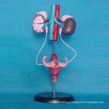 Sistema urinário feminino Modelo de ensino de anatomia médica (R110304)