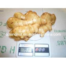 Fresh Ginger EU Qualité 250g et plus