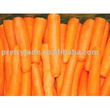 Nova cenoura chinesa fresca