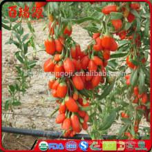 High export goji berry dry goji berry goji berries on hot selling