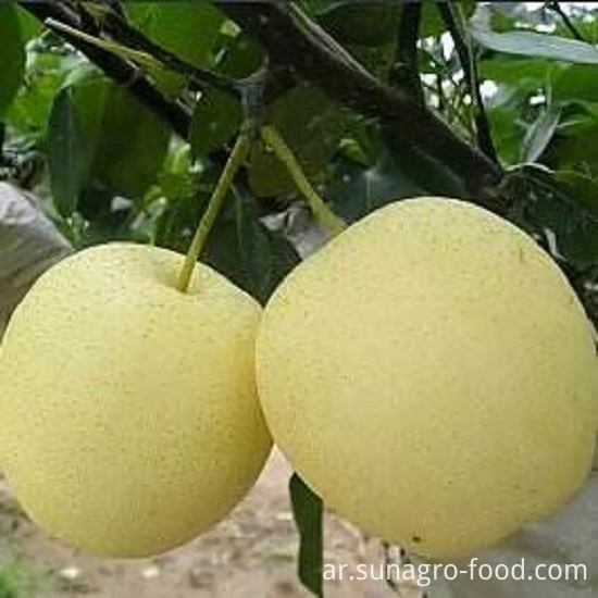 Sweet Snow Pear,