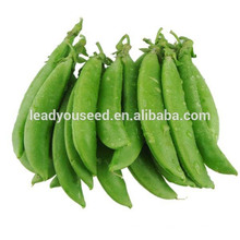 MPE03 Baoman green largest sugar pea seeds, chinese vegetable seeds