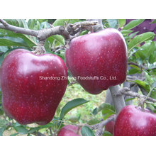 2016 New Crop Red Star Apple