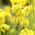 Miel natural de colza (OSR) miel