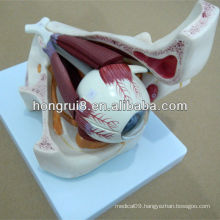 ISO Amplified Eye Model, Anatomical Model, Detachable Eyeball With Orbit