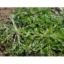 Extrait 100% naturel d'herbe d'absinthe capillaire