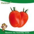 Suntoday determinado firma fruta longa shelflife Sygenta de fruta oval vermelho GS-12 híbrido vegetal F1 sementes de tomate orgânico (22001)