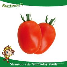 Suntoday déterminé roma fruit ferme longue durée de vie Red ovale fruit sygenta GS-12 hybride végétale F1 graines de tomates biologiques (22001)