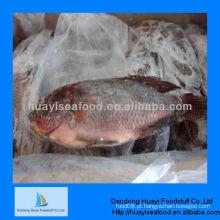 Novos peixes frescos congelados congelados tilápia