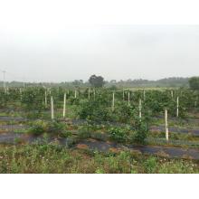IQF Einfrieren Organic Blackberry Zl-1006