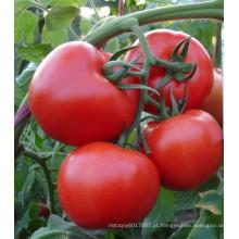 HT45 Sanbu TYLCV resistente híbrido f1 melhores sementes de tomate para estufa