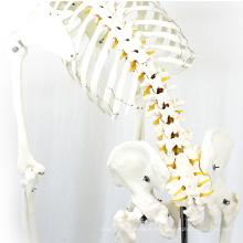 SKELETON01-1 (12361-1) Esqueleto flexible de ciencia médica tamaño natural 170cm esqueleto anatómico médico modelos