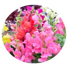 Top quality Bulk Garden flower Snap Dragon Seeds