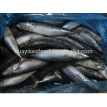 New frozen pacific mackerel fish